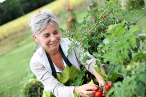 Senior woman picking tomatoes from garden